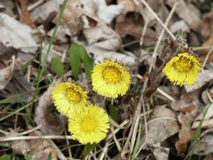 Coltsfoot tussilago farfara the bristly flower has numerous yellow rays in many layers coltsfoot is one of the earliest appearing spring flowers in ontario mightylinksfo