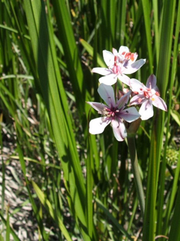 Flowering Rush Butomus Umbellatus