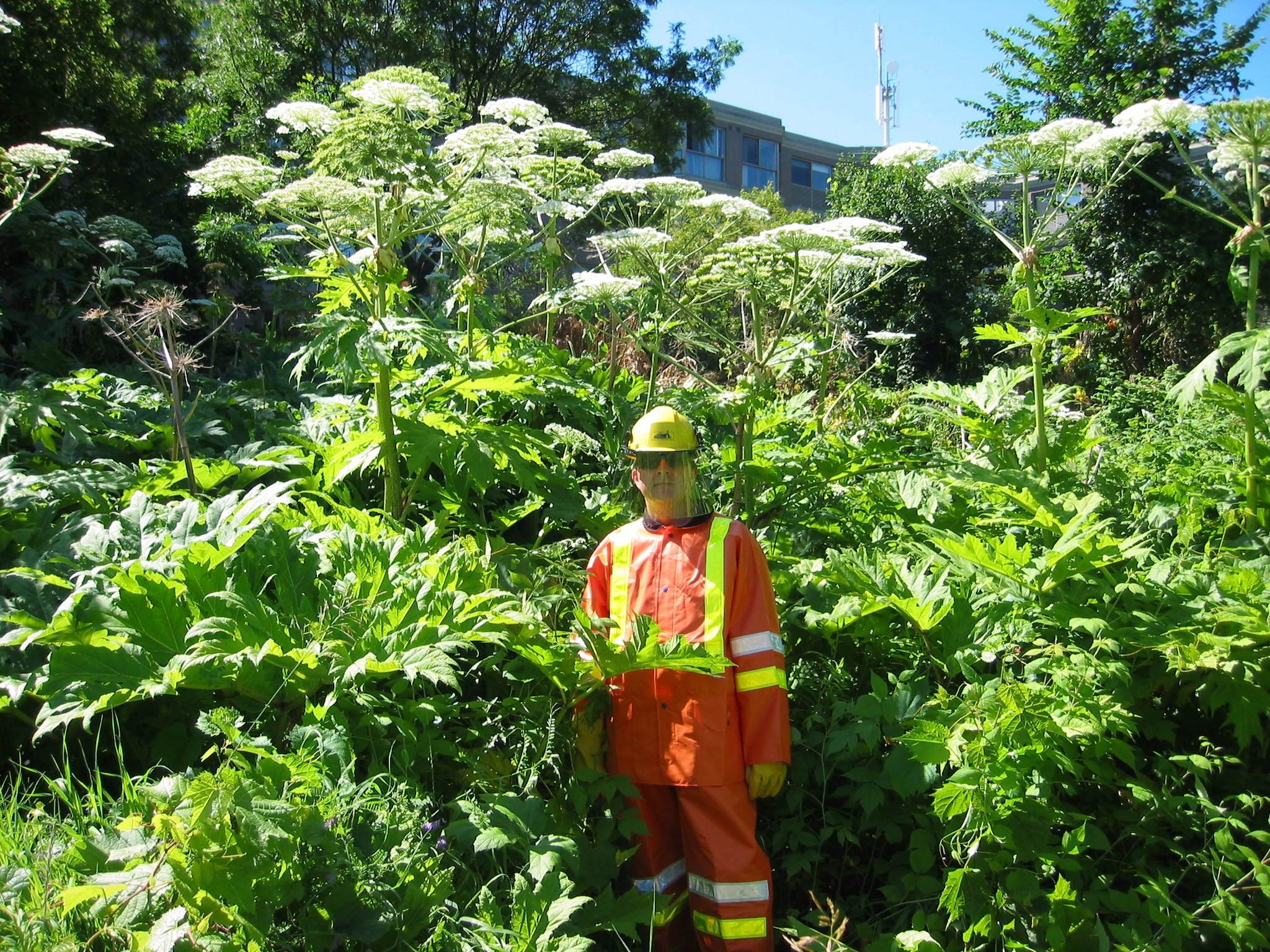Wild parsnip, giant hogweed: Toxic plants to watch out for ...
