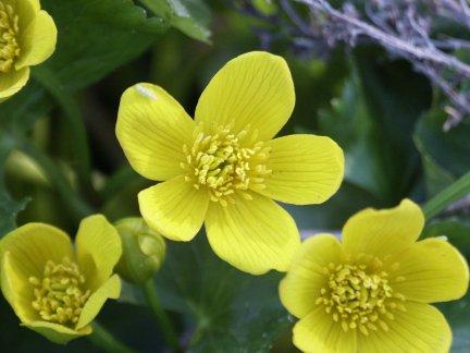 Wildflowers yellow avens mightylinksfo