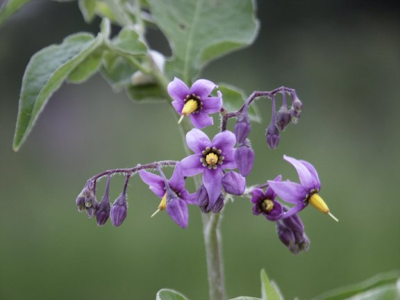 opinions on solanaceae