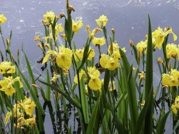 http://www.wildflowersofontario.ca/yellow_iris1.jpg